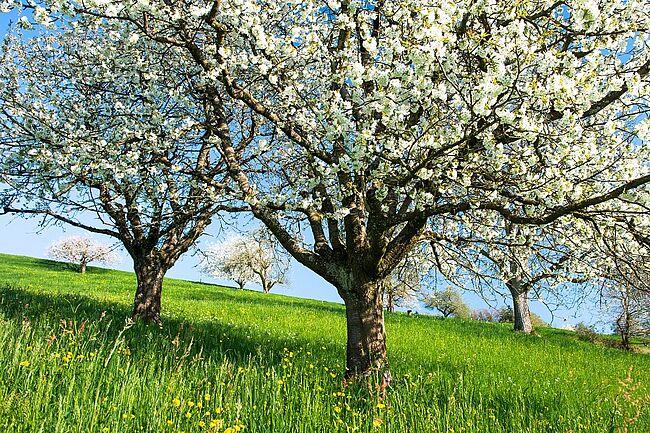 Frühling blühender Kirschbaum