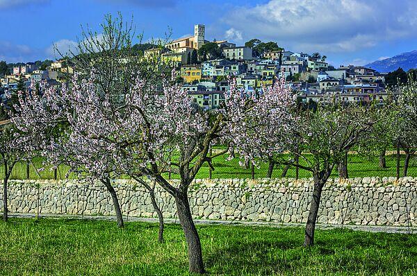 Spanien Mallorca Mandelbluete
